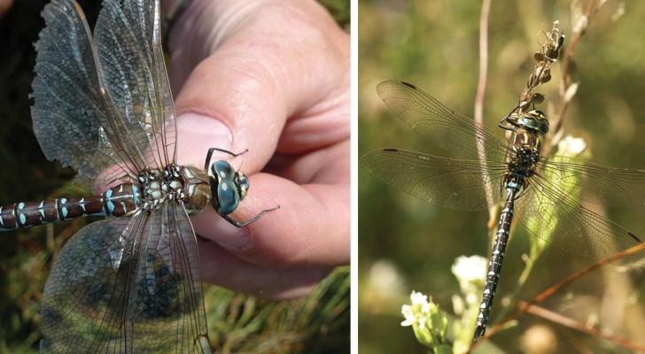 Fingersi morta per evitare le avances: la strategia Estrema della libellula