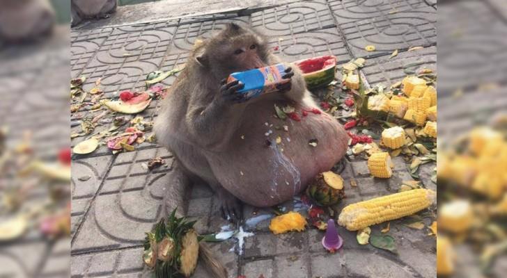 Uncle Fatty, le singe obèse qui nous montre les dangers de l'alimentation humaine