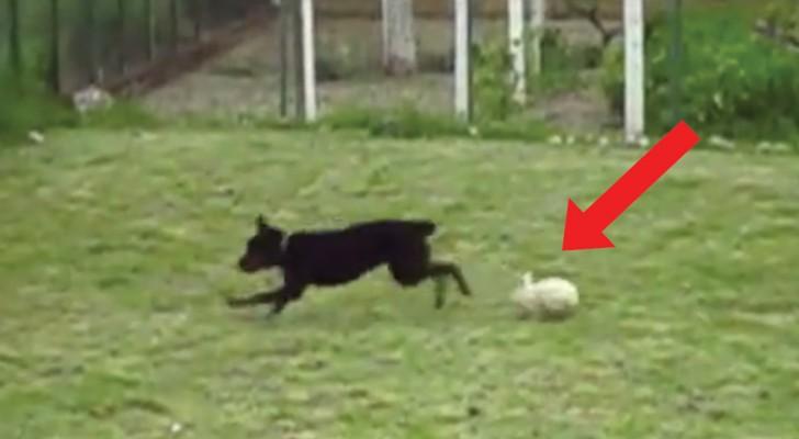 Een rottweiler speelt met een... konijn: hun plezier werkt aanstekelijk!