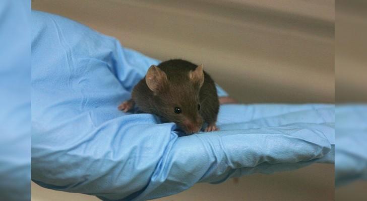 La formule qui inverse le vieillissement de l'ADN chez la souris a été découverte
