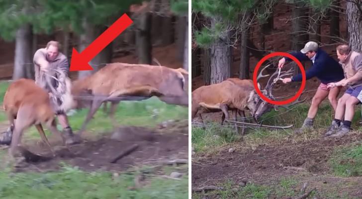 Questi 2 cervi sono rimasti impigliati: l'intervento dei due uomini era la loro unica possibilità