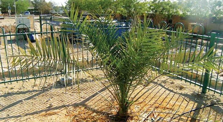 Uit Het oudste zaadje ter wereld is een hele bijzondere palmboom ontstaan
