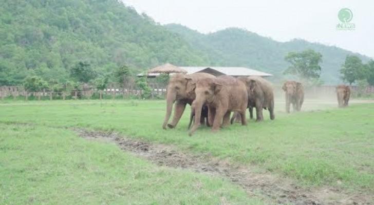 Elephants in an animal park immediately adopt an orphaned elephant!