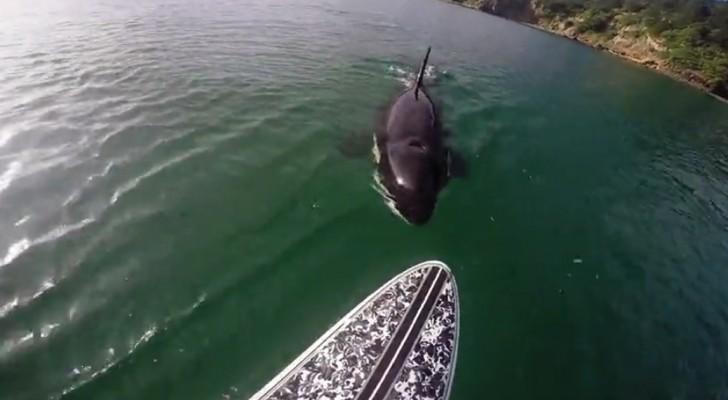 A orca segue a prancha de surfe: entre medo e curiosidade a experiência é inesquecível!