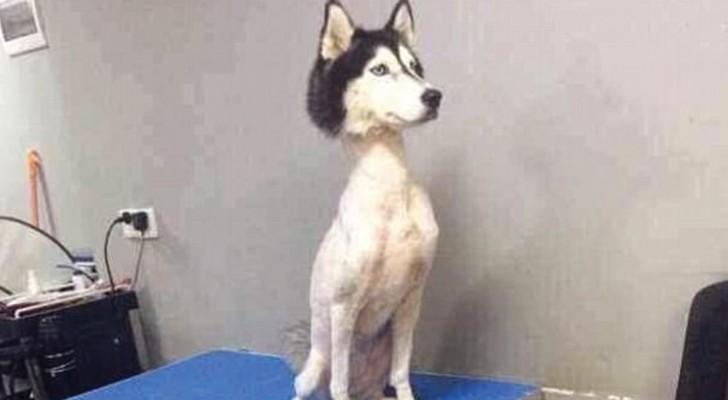 Dieses Foto ist lustig, aber es erklärt uns auch, warum Hunde nie geschoren werden, nicht einmal im Sommer!