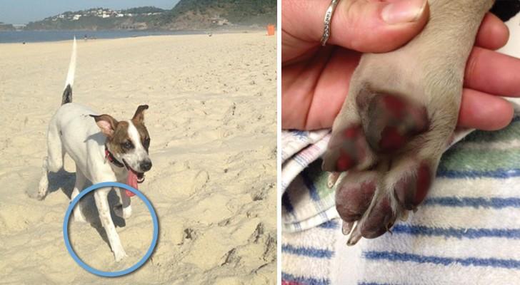 Alle Hundebesitzer sollten das Risiko kennen, wenn sie ihre Hunde auf glühend heißer Straße Gassi führen