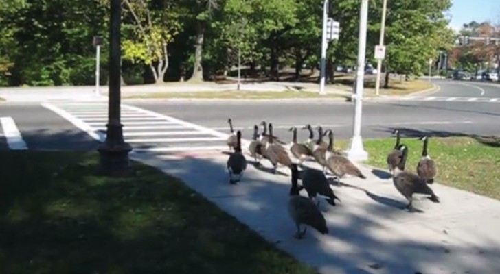 Hey! Even GEESE know where and when to cross the street ...