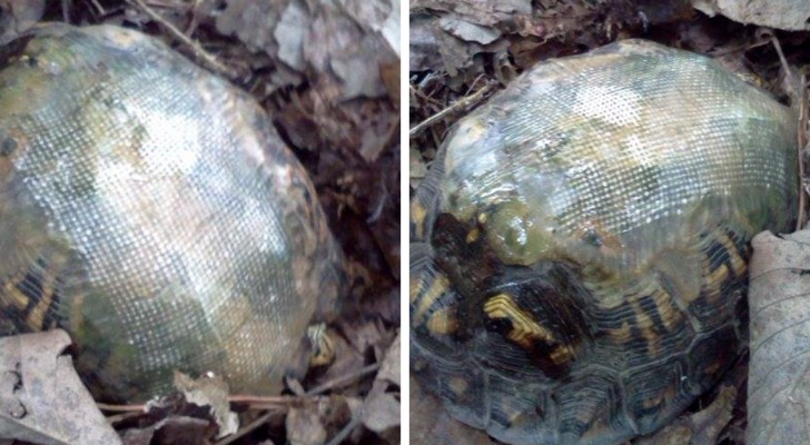Er repariert den Panzer einer Schildkröte mit einer Glasfaser und entlässt sie in die Natur: Einige Jahre später findet er sie wieder...