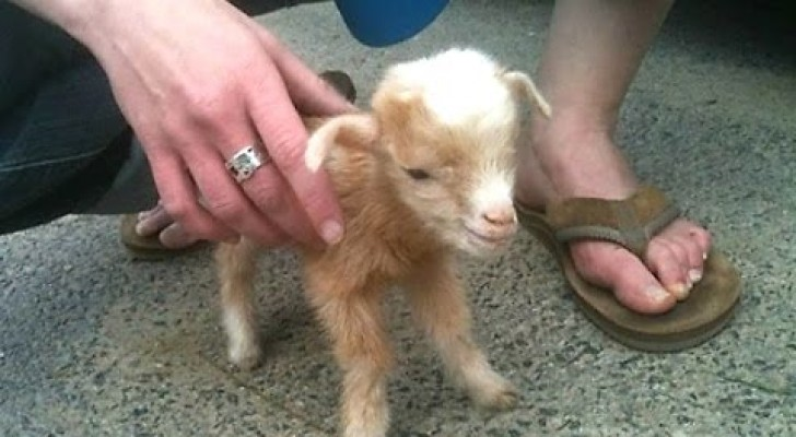 These little kid goats are seriously CUTE! :)