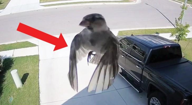 Les ailes de l'oiseau sont parfaitement synchronisées avec la caméra: le résultat est HYPNOTIQUE