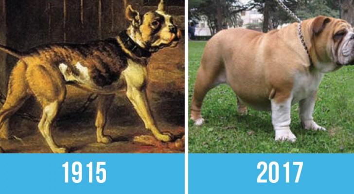Les chiens de la même race photographiés aujourd'hui et il y a 100 ans: est-ce que ça en valait vraiment la peine?