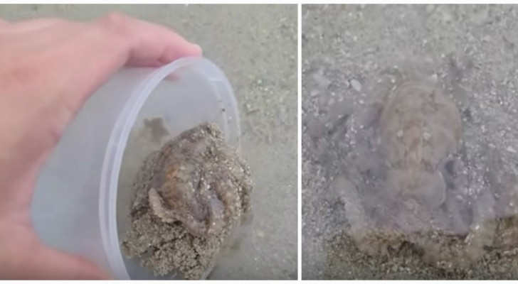 A beached octopus thanks its rescuer!