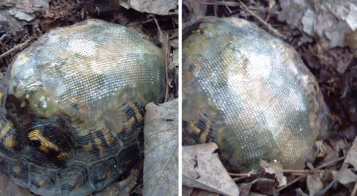 He repairs the shell of a tortoise with fiberglass and frees it and after a few years, he sees it again -- still in perfect health