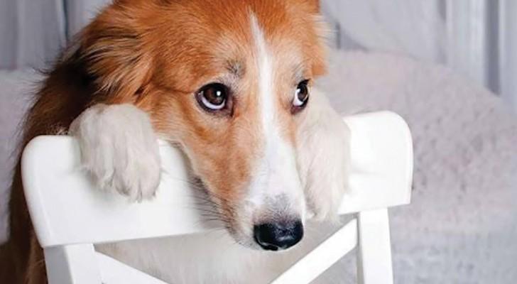 Denk eerst goed na voordat je tekeergaat tegen je hond, want zijn 'Schuldige blik' heeft iets te betekenen
