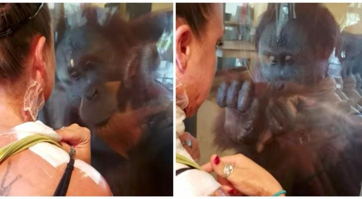 For Rocky, the orangutan, this was no monkeyshine!