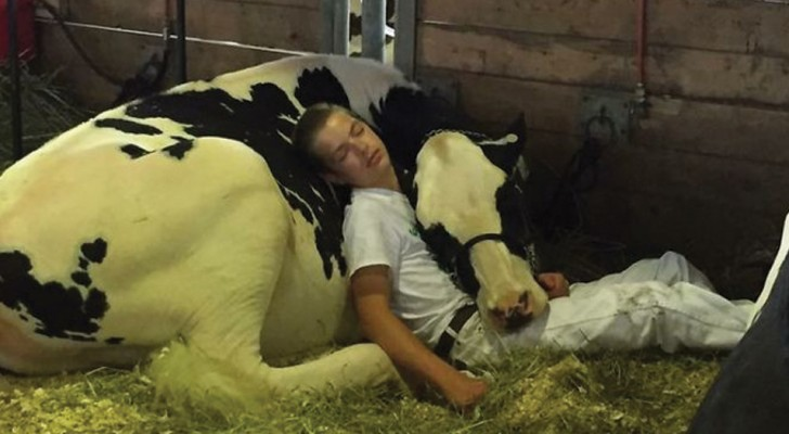They lose the cattle fair competition and fall asleep together and this boy and his cow are immortalized in a photo