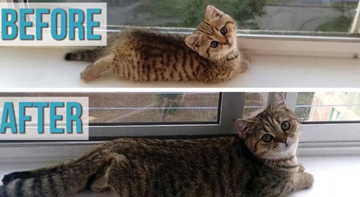 Queste 20 foto prima e dopo vi ricorderanno di quanto è bello vedere crescere il proprio gatto