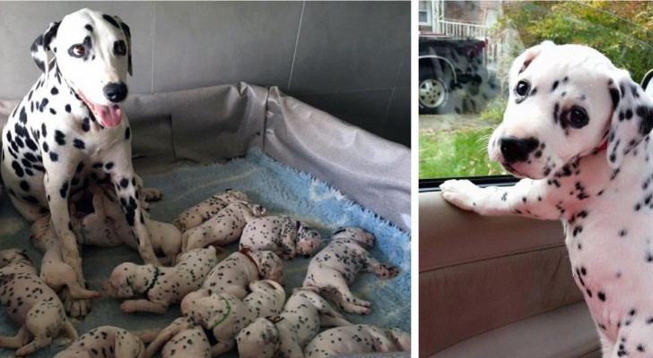 Una dalmata ha partorito il numero record di 18 cuccioli: ma l'ultimo è davvero speciale