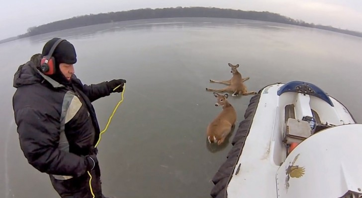 The rescue of two deers on a frozen lake