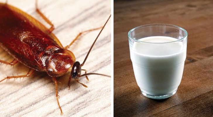 Un type de cafard peut produire du lait: les scientifiques pensent que ce sera l'aliment du futur.