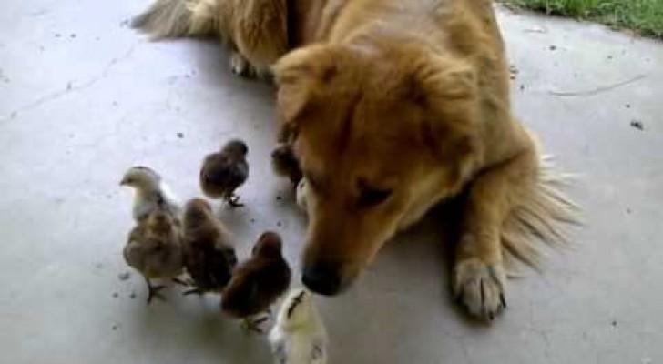 Le chien et ses amis les poussins