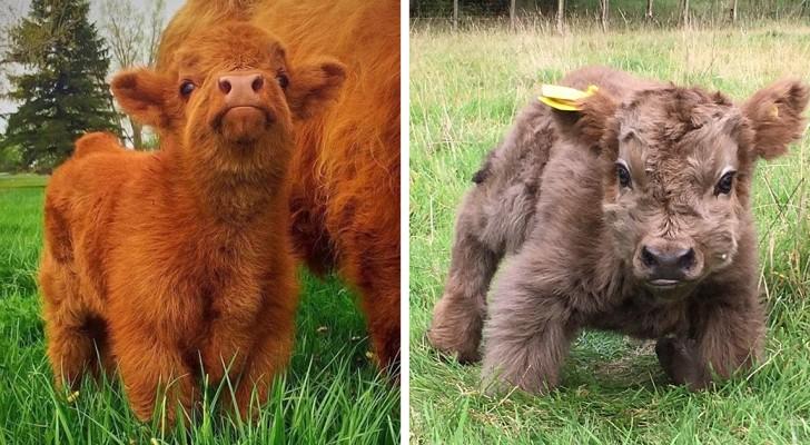 Voici la vache Highlander, la race écossaise aux petits veaux magnifiques.