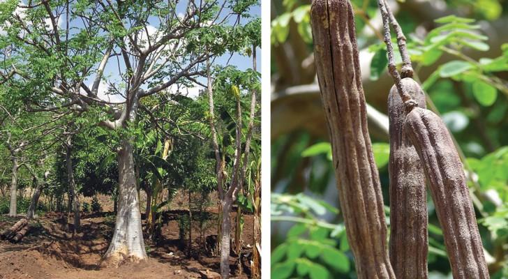 Lo chiamano albero dei miracoli: ecco i suoi segreti e le sue proprietà
