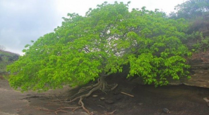 Todos os segredos da árvore da morte, a planta mais perigosa da terra...