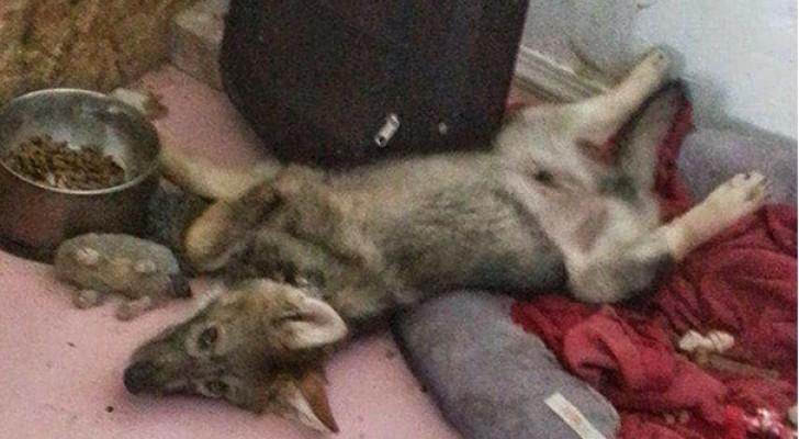 Adopta un cachorro abandonado, pero una vez llevado a casa se da cuenta que no es un perro ordinario