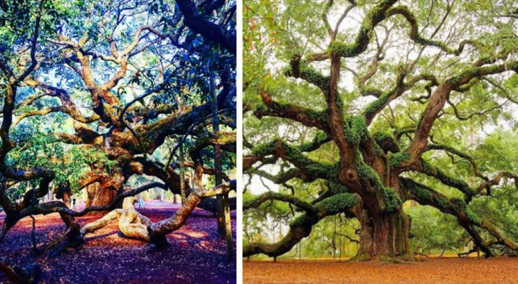 Deze enorme boom van ongeveer 400 jaar oud is een van de boeiendste wezens op aarde