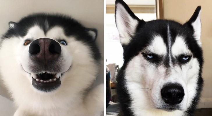 16 foto's die tonen dat husky's de meest expressieve honden zijn ter wereld