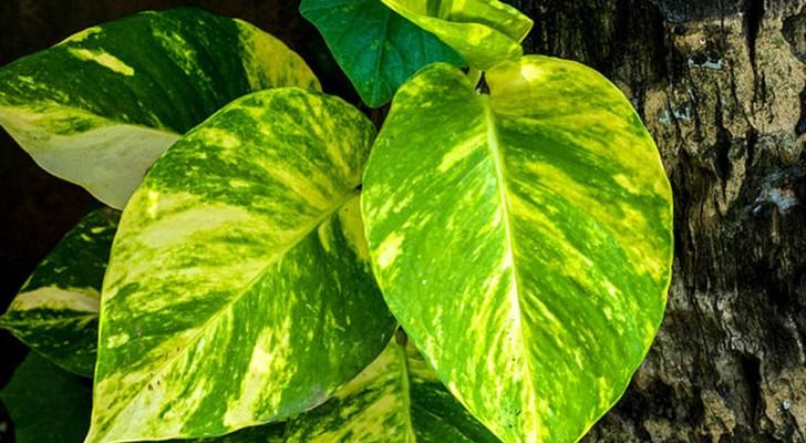 Aqui la planta domestica que segun la NASA elimina los agentes contaminantes en un departamento
