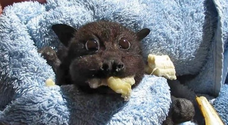 This little bat collided with a car and the video of its recovery is very entertaining