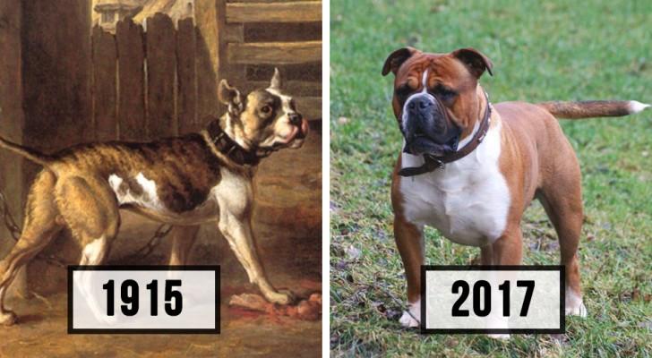Ecco quanto sono cambiate alcune razze di cane nell'arco di 100 anni
