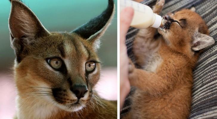 Il gatto più tenero in assoluto? Lasciatevi conquistare da questi cuccioli di caracal