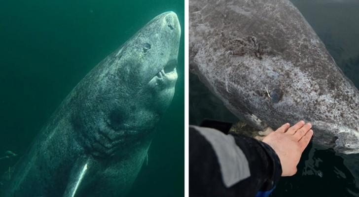 Questo squalo di 512 anni potrebbe essere il vertebrato più anziano della Terra