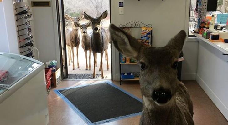 Un cervo fa capolino nel piccolo alimentari: poco dopo torna con tutta la famiglia al seguito