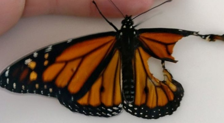 A woman finds a wounded butterfly and manages to heal it in the most surprising way