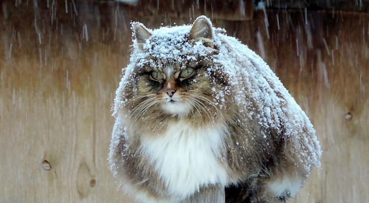 Ces chats sibériens ont pris le contrôle d'une ferme: leur splendeur en ont fait des stars du web