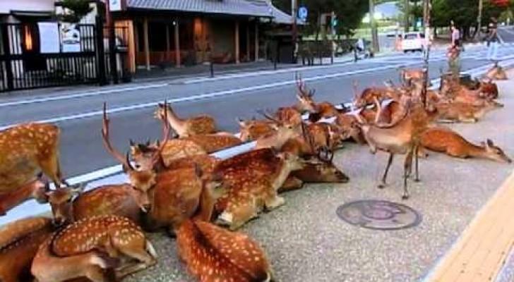 Des cerfs au beau milieu d'une rue japonaise