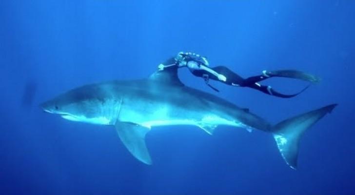 Le requin blanc et la courageuse nageuse