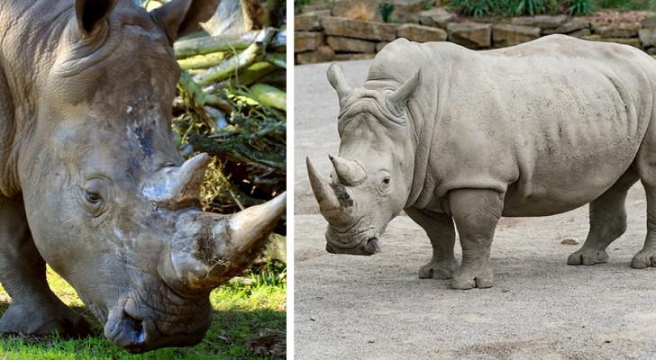 Das letzte männliche weiße Nashorn ist gestorben: Jetzt steht es schlecht um die Spezies