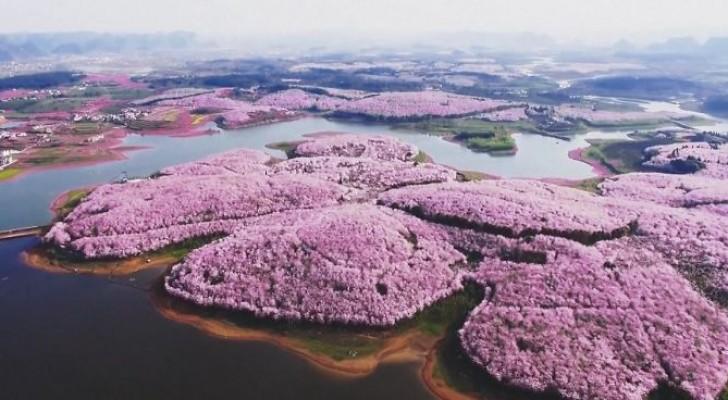 Les cerisiers en fleurs en Chine... Un spectacle onirique à ne pas manquer