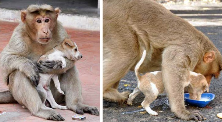 This monkey has adopted a stray dog, and the way he treats it surpasses all imagination!