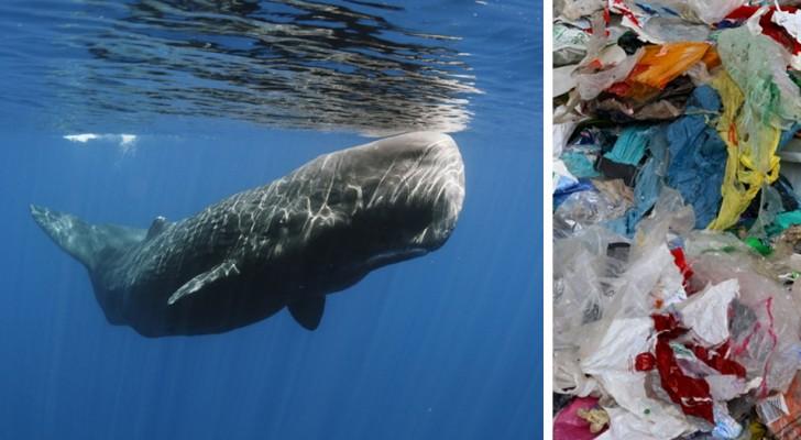 Trovato un capodoglio arenato su una spiaggia spagnola: nel suo stomaco 30 kg di rifiuti plastici