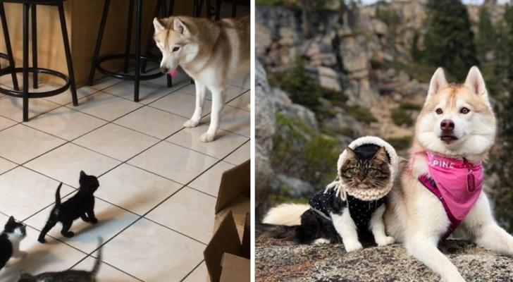 Deze foto's laten zien dat husky's en katten een prachtige match vormen