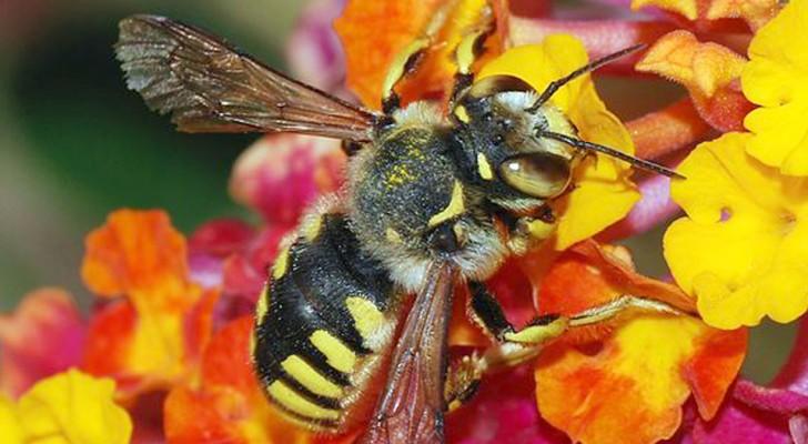 Bienen wurden als die wichtigsten Kreaturen des Planeten erklärt, aber ihr Zahl sinkt weiterhin