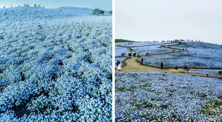 Tutti conoscono la fioritura dei ciliegi in Giappone, ma quella dei nemophila blu è altrettanto imperdibile