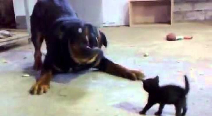The bravest kitten ever