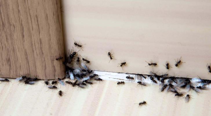 9 natürliche  Mittel, um Ameisen von deinem Zuhause fernzuhalten
